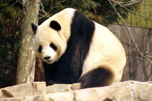 Symbol für bedrohte Arten: Der Große Panda